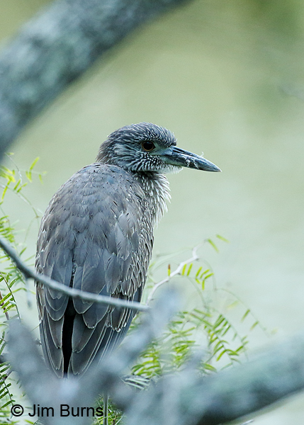 Yellow-crowned Night-Heron juvenile on night roost