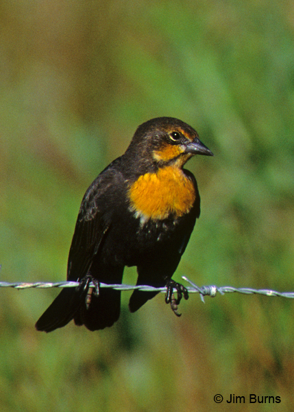 Yellow-headed Blackbird female