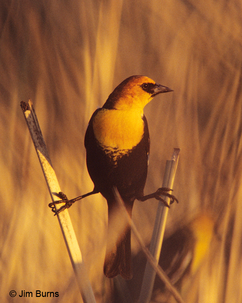 Yellow-headed Blackbird sunrise at roost