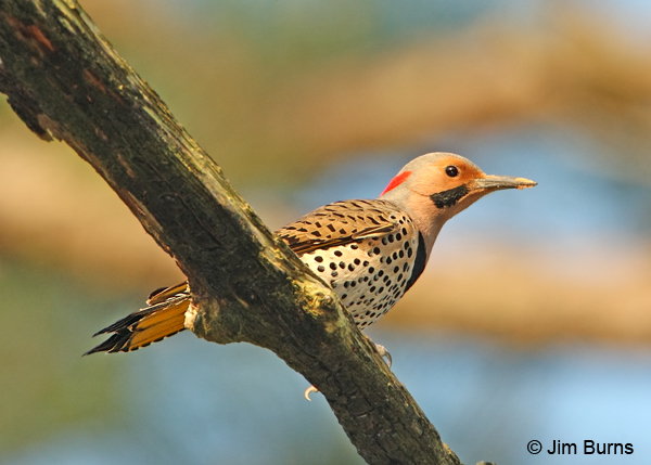 Yellow-shafted Flicker male