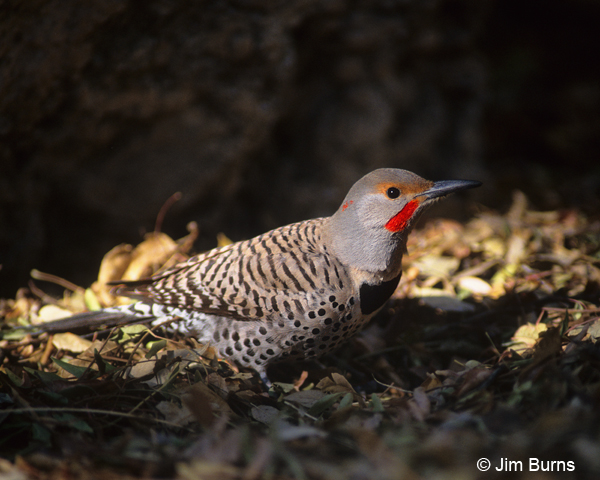 Yellow-shafted Flicker x Red-shafted Flicker intergrade