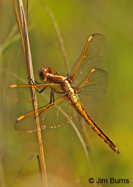 Yellow-sided Skimmer, Sussex Co., VA, June 2017