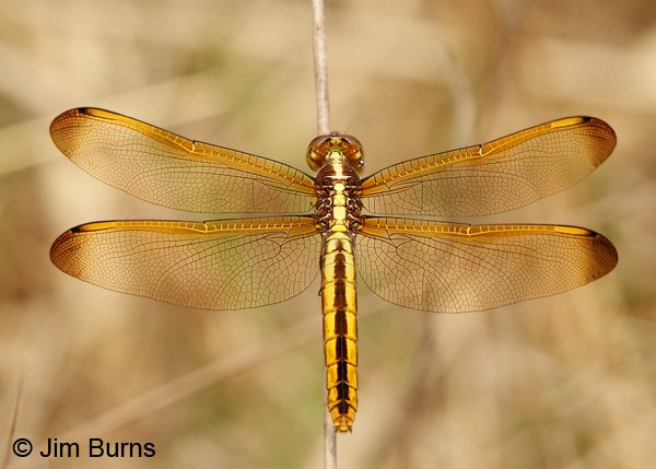 Yellow-sided Skimmer female dorsal view, Angelina Co., TX, April 2013