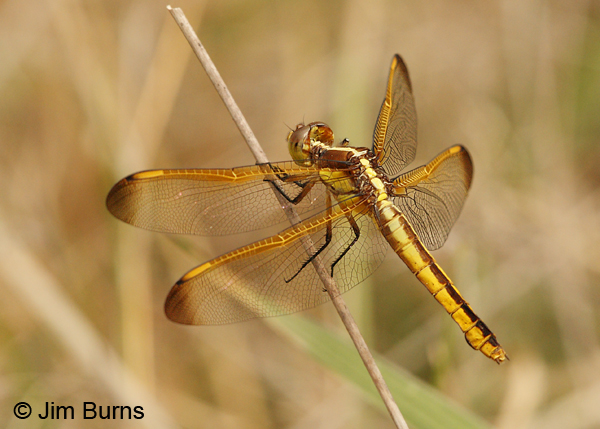 Yellow-sided Skimmer female, Angelina Co., TX, April 2013