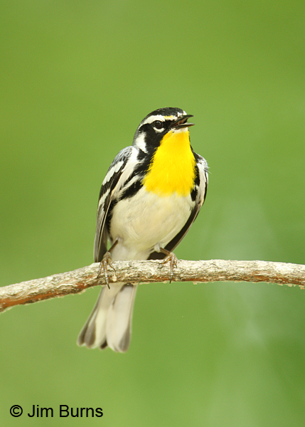 Yellow-throated Warbler adult male