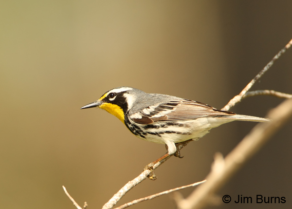 Yellow-throated Warbler first fall male