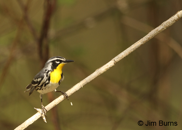 Yellow-throated Warbler male on branch