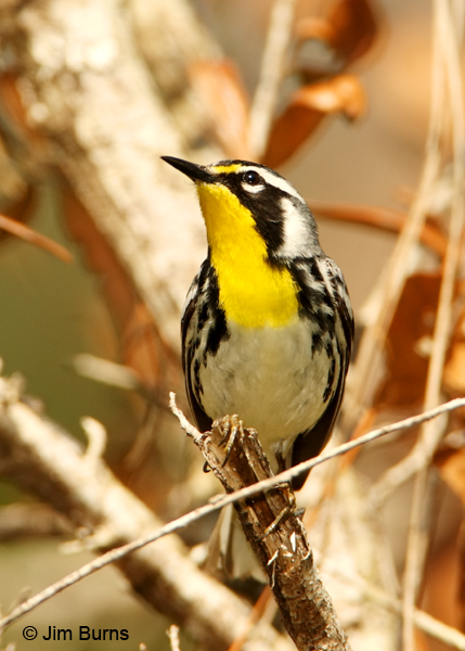 Yellow-throated Warbler male ventral view