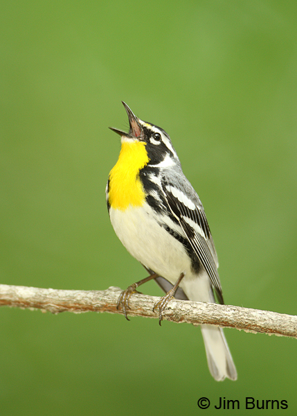 Yellow-throated Warbler male singing