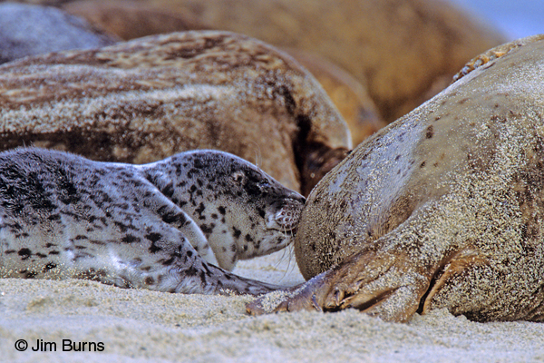 Young Harbor Seal nursing