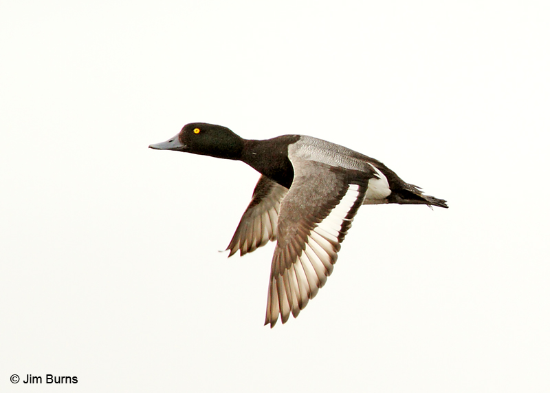 Greater Scaup male in flight