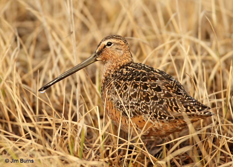Long-billed Dowitcher on tundra