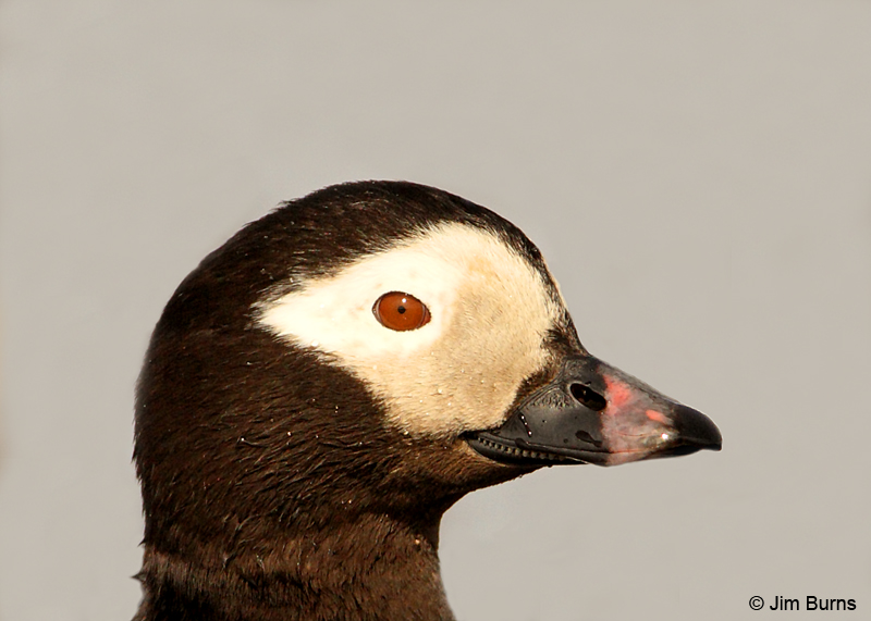 Long-tailed Duck male head shot
