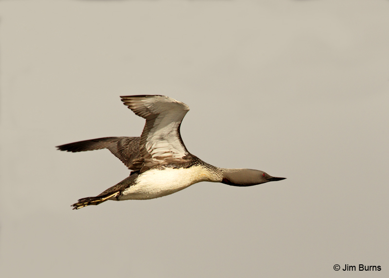 Red-throated Loon in flight Red Throated Loon