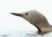 Red-throated Loon adult head shot