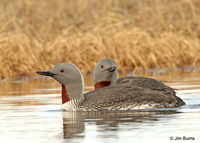 Red-throated Loon pair