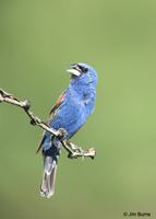 Blue Grosbeak singing