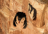 California Condor shadow on wall