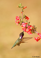 Costa's Hummingbird male at Penstemon