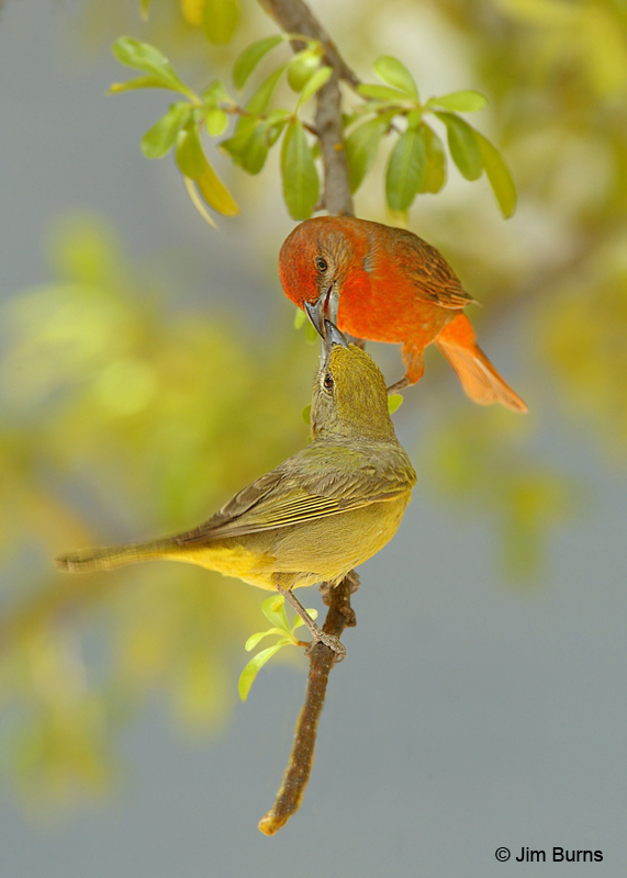Hepatic Tanagers