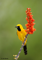 Hooded Oriole male in Ocotillo