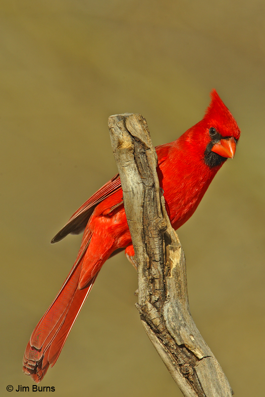 Northern Cardinal male Arizona