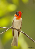 Red-faced Warbler adult