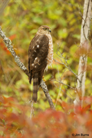 Sharp-shinned Hawk juvenile female perched