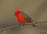 Vermilion Flycatcher male ventral view