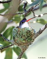Violet-crowned Hummingbird on nest