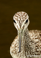 Greater Yellowlegs head shot
