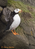 Horned Puffin wingstretch