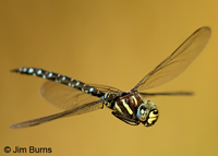 Sedge Darner male in flight