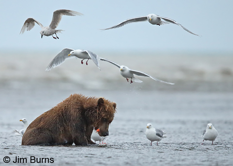Brown Bear on salmon with Glaucous-winged Gulls