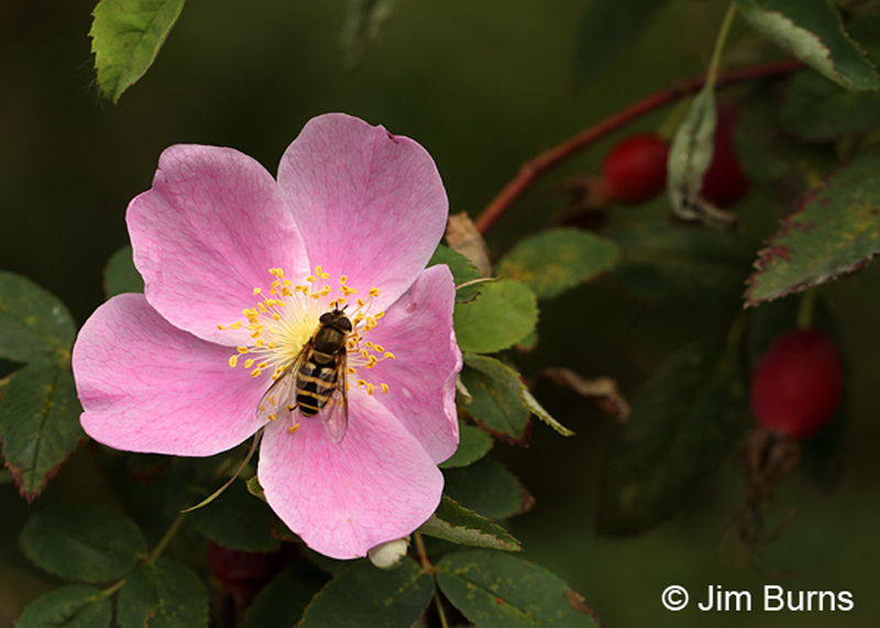Wild Rose with bee and hips
