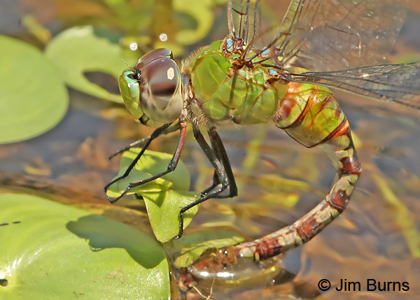 Amazon Darner female close-up ovipositing in water lilies, Turrialba CR, August 2014
