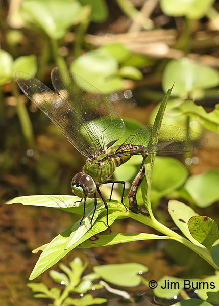 Amazon Darner female ovipositing, Turrialba CR, August 2014