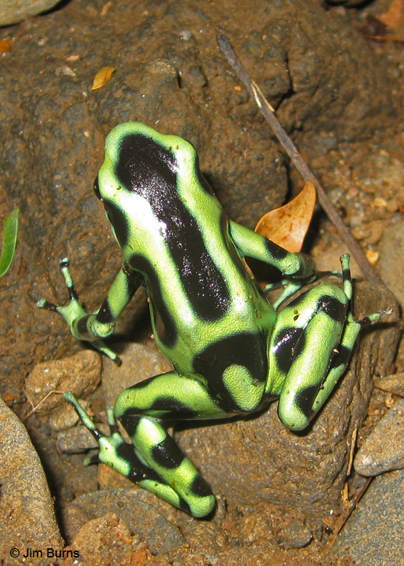 Costa Rica Green Poison-arrow Frog Are Green Frogs Poisonous