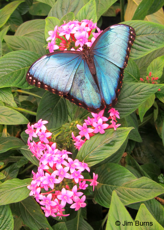 Blue Morpho open on flower