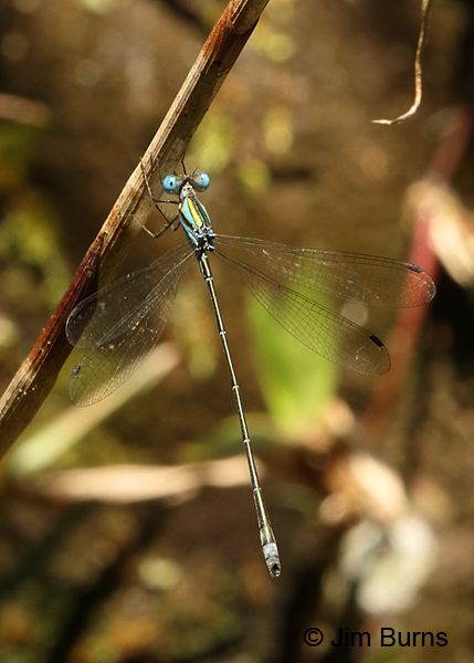 Blue-striped Spreadwing male dorsal view, Los Cusingos, CR, August 2014