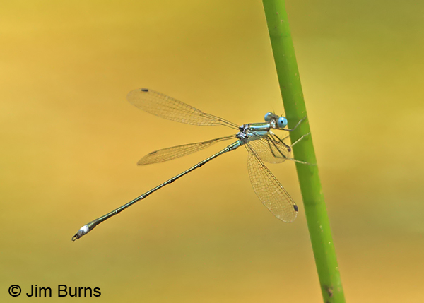 Blue-striped Spreadwing male, Los Cusingos, CR, August 2014