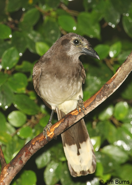 Brown Jay ventral view