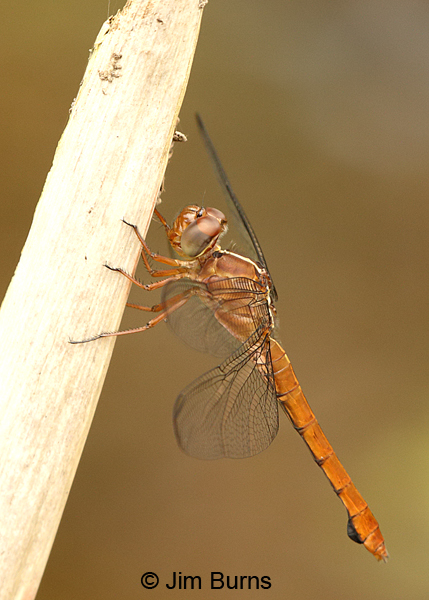 Carmine Skimmer female, Turrialba, CR, August 2014