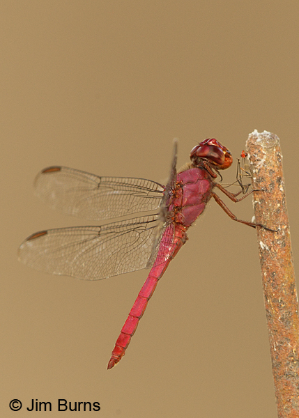 Carmine Skimmer male with red insect, Solimar, C.R., December 2013