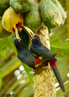 Collared Aracaris on Papaya