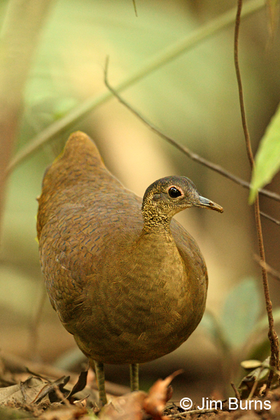 Great Tinamou close up