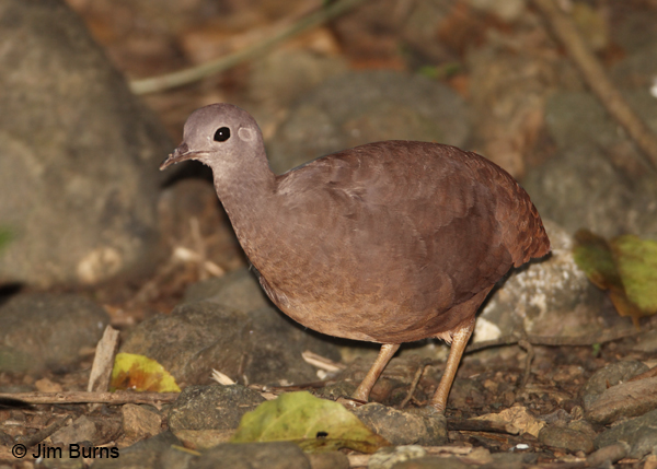 Little Tinamou