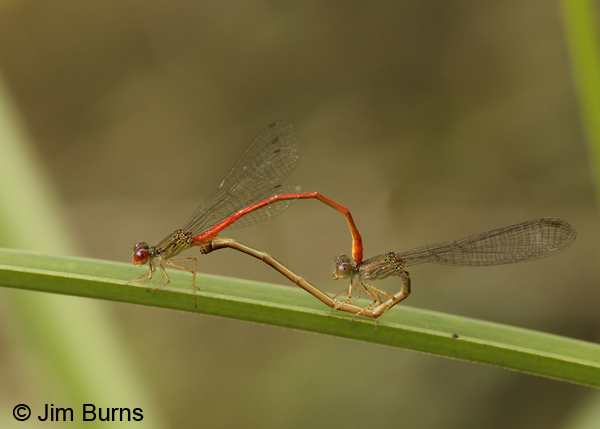 Marsh Firetail pair in wheel, Pital, C.R., December 2013