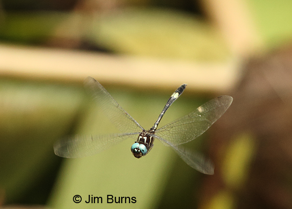 Slender Clubskimmer male, Tapanti NP, CR, August 2014