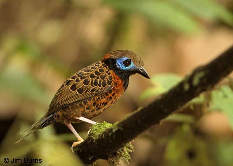 Ocellated Antbird